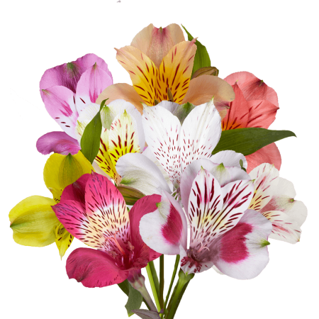 GlobalRose 80 Fresh Cut Assorted Alstroemeria Flowers - Select Alstroemeria - Fresh Flowers For Birthdays, Weddings or Anniversary.