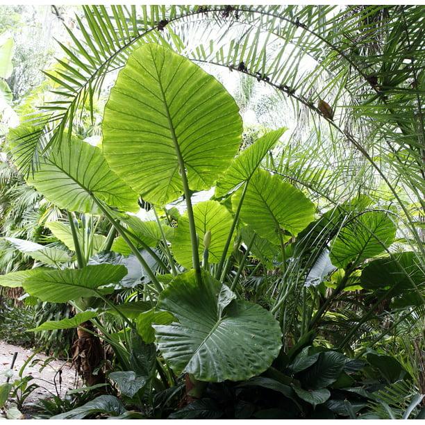 Persian Palm Alocasia Calidora Indoors Out 6 Pot Huge