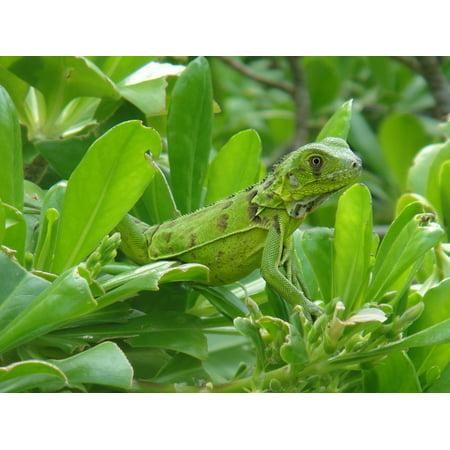 Canvas Print Beast Reptile Bonaire Nature Iguana Stretched Canvas 10 x