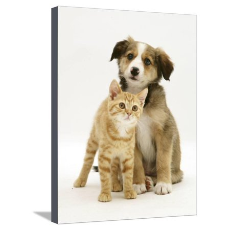 British Shorthair Red Tabby Kitten Sitting with Sable Border Collie Pup Stretched Canvas Print Wall Art By Jane Burton