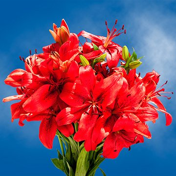 Globalrose 28 Blooms Of Red Color Asiatic Lilies 8 Stems   Fresh Flowers For Delivery