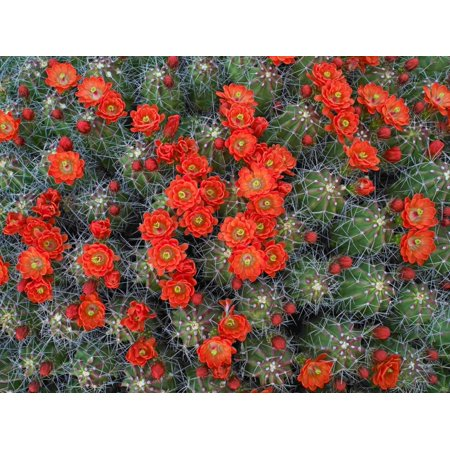 Claret Cup Cactus detail of flowers in bloom North America Poster Print by Tim Fitzharris