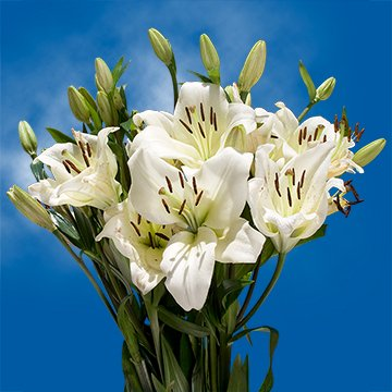 Globalrose 28 Blooms Of White Color Asiatic Lilies 8 Stems   Fresh Flowers For Delivery
