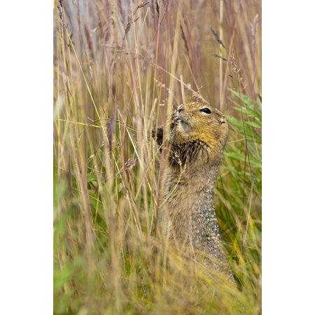 An Arctic Ground Squirrel Feasts On Grass Seeds Near The Eielson Visitor Center In Denali National Park And Preserve Interior Alaska Summer Stretched Canvas - Carl Johnson  Design Pics (12 x (Best Summer Grass Seed)