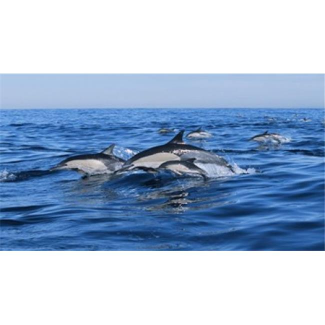 Panoramic Images PPI131066L Common dolphins breaching in the sea Poster Print by Panoramic Images - 36 x 12 - image 1 of 1