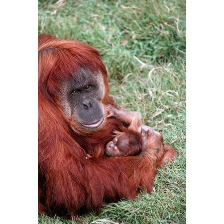 Sumatran Orangutan mother holding baby native to Sumatra Poster Print by San Diego