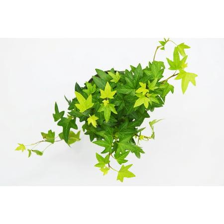 English Ivy 'Green California' - 4