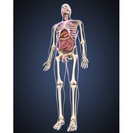 Full length view of male human body with organs Poster - Organs Human Body