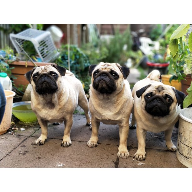 Peel N Stick Poster Of Puppy Waiting Pugs Puppies Garden Cute Dogs Pug Poster 24x16 Adhesive Decal Walmart Com Walmart Com