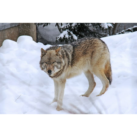 Canvas Print Snow Fear Cold Winter Arctic Wolf Grey Wolf Stretched Canvas 10 x 14