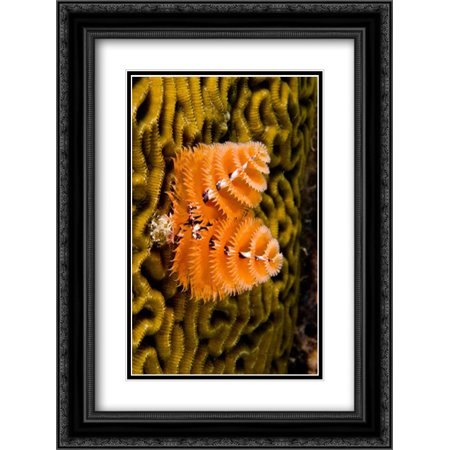 Christmas Tree Worm filter feeding while attached to Brain Coral, Bonaire, Netherlands Antilles, Car 2x Matted 18x24 Black Ornate Framed Art Print by Oxford, Pete ()