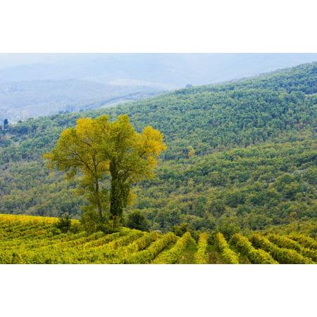 Wine grape vineyard Chianti Tuscany Italy