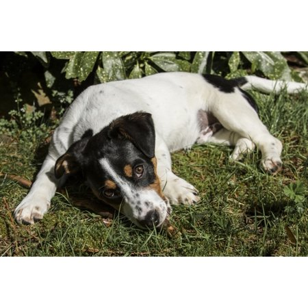 Four month old Fox Terrier, Hound mixed breed puppy resting outside after active play.  Poster Print by Janet Horton Terrier Mix Puppy