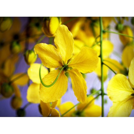 Canvas Print Blossom Shower Tree Summer White Cassia Golden Stretched Canvas 10 x 14