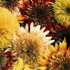 Seeds Of Change Tiger's Eye Sunflower Mix