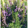 Rosemary Plant - Quart Pot - Great Gift for Indoors or Out