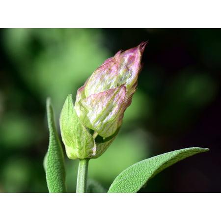LAMINATED POSTER Medicinal Herb Sage Flower Sage Sage Bud Purple Poster Print 24 x 36