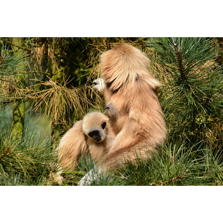 Canvas Print Brown Monkey Mammal Zoo Gibbons Mother with Child Stretched Canvas 10 x - Gibbon Monkey