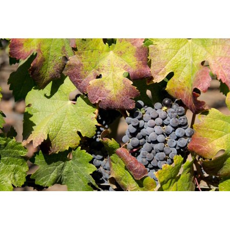 Purple Wine Grapes on the Vine, Napa Valley, California, USA Print Wall Art By Cindy Miller