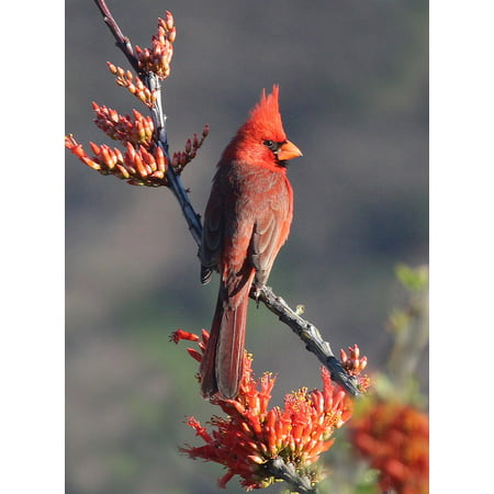 Northern Promotions Framed Art (Framed Art for Your Wall Bird Cardinal Redbird Wildlife Northern Male 10x13 Frame )