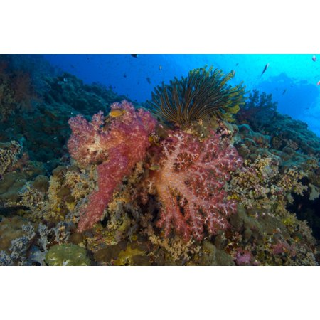 Red soft coral with crinoid Papua New Guinea Canvas Art - Steve JonesStocktrek Images (18 x 12)