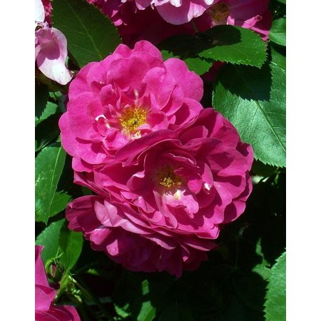 "John Cabot Climbing Antique Heirloom Rose - Super Hardy - 2.5"" Pot"