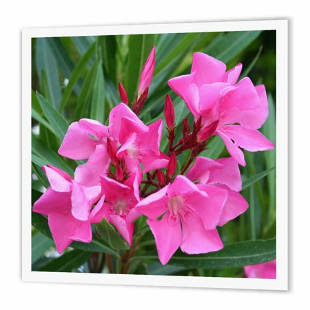 3dRose Oleander Pink - pink, flower, tree, oleander, blossom, tropical plant, buds, Iron On Heat Transfer, 8 by 8-inch, For White - Tropical Flower
