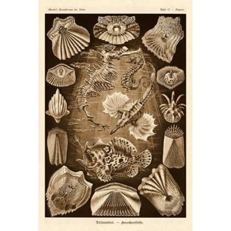 Haeckel Nature Illustrations Teleostei bony Fishes - Sepia Tint Canvas Art - Ernst Haeckel (12 x 18)