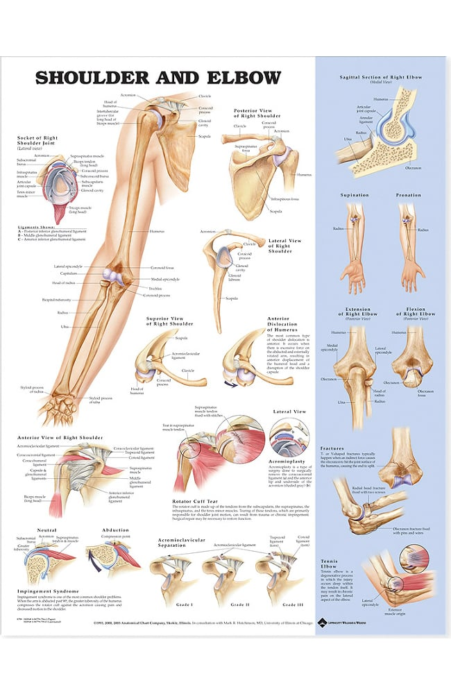 Anatomical Chart Co Shoulder and Elbow - Walmart.com