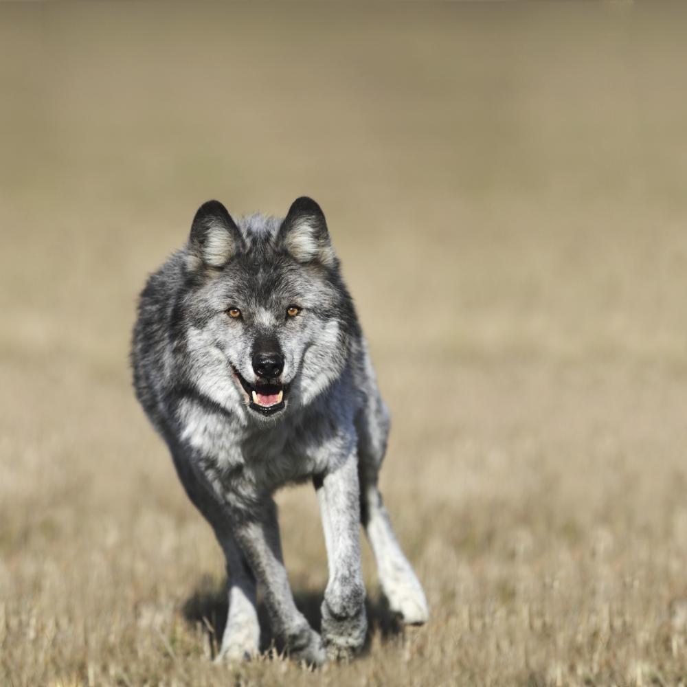 Wolf (Canis Lupus) Running Towards Camera Golden British Columbia Canada PosterPrint