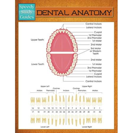 Dental Anatomy (Speedy Study Guide) - Walmart.com