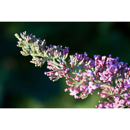 Canvas Print Lilac Buddleja Davidii Plant Butterfly Bush Stretched Canvas 10 x