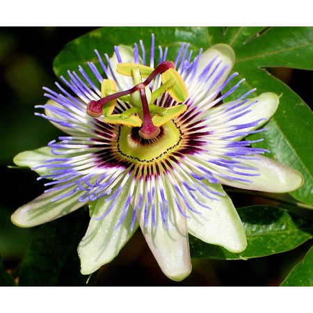 Blue Passion Vine - Edible Passion Vine Plant - Passiflora caerulea - Exotic! - 4