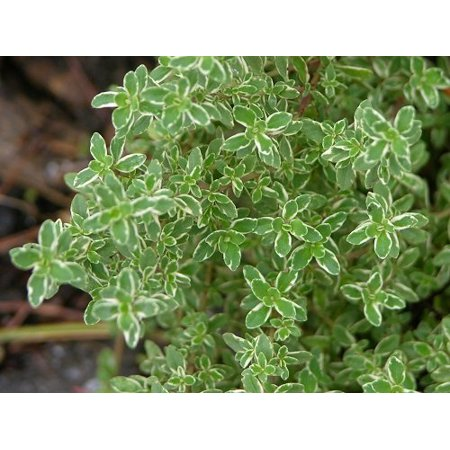 Hirt's Lemon Thyme Plant - Smells Like Lemon/Tastes Like Lemon - 4