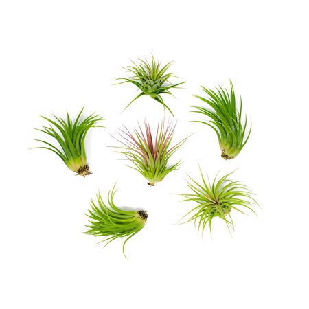 6 Lowlight Air Plant Pack - Live Low-Light Plants | Indoor Tropical Tillandsia Houseplant Kit | Natural Low Light Decorations by Plants for
