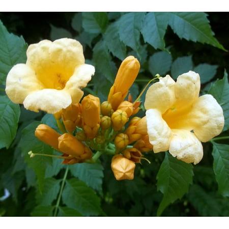 """Yellow Trumpet Vine Plant - Campsis radicans - Flava - 2.5"""" Pot"""