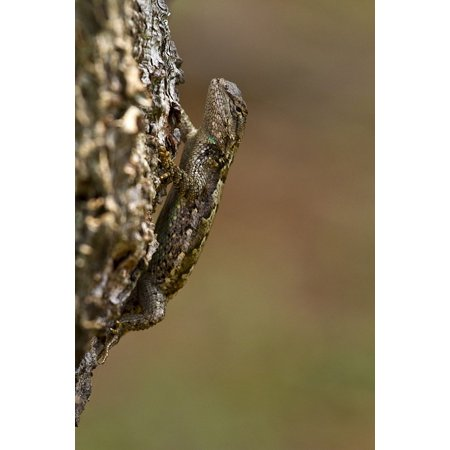 - Canvas Print Eastern Fence Lizard Reptile Tropical Macro Stretched Canvas 10 x 14