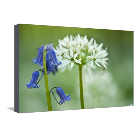 Wild Garlic and Bluebell in Flower, Beech Wood, Hallerbos, Belgium Stretched Canvas Print Wall Art By (Beech Flower)