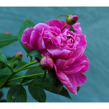 Peel N Stick Poster Of Peony Perennial Flower Fuchsia Pink Blossom