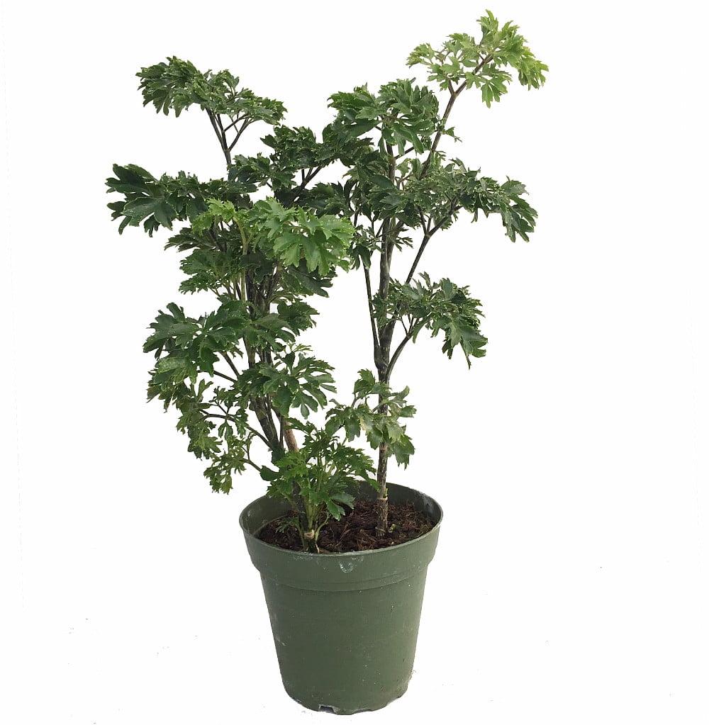 Japanese Ming Aralia Tree Plant - Polyscias - Indoor - 4\