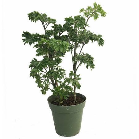 Japanese Ming Aralia Tree Plant - Polyscias - Indoor - 4