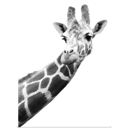 Black And White Canvas Poster (Great BIG Canvas | Rolled Darren Greenwood Poster Print entitled Black And White Portrait Of A Giraffe)