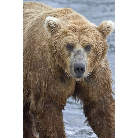 Close up portrait of a Brown bear (Ursus Arctos) standing in Brooks River Katmai National Park and Preserve Southwest Alaska Stretched Canvas - Gary Schultz  Design Pics (12 x 19) - Bear Standing Up