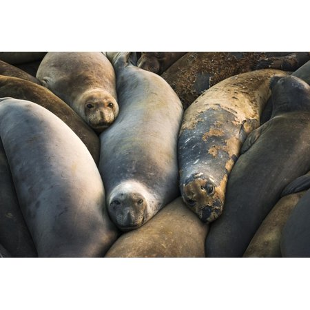 Northern elephant seals at Piedras Blancas elephant seal rookery, San Simeon, California, USA Print Wall Art By Russ Bishop