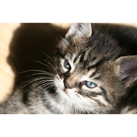 Fox Face Kittens For Sale (Canvas Print Cat Face Cat Animal Kitten Cats Pet Stretched Canvas 10 x)
