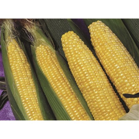 - Sweet Corn Applause Synergistic Hybrid Seed - 1 Packet