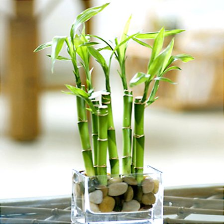 river rock lucky bamboo with vase. Black Bedroom Furniture Sets. Home Design Ideas