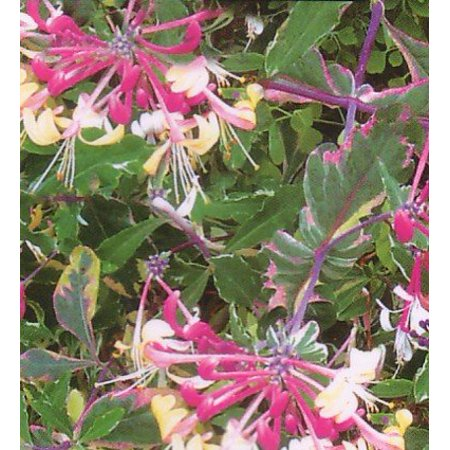Harlequin Variegated Honeysuckle Vine - Lonicera - 2.5