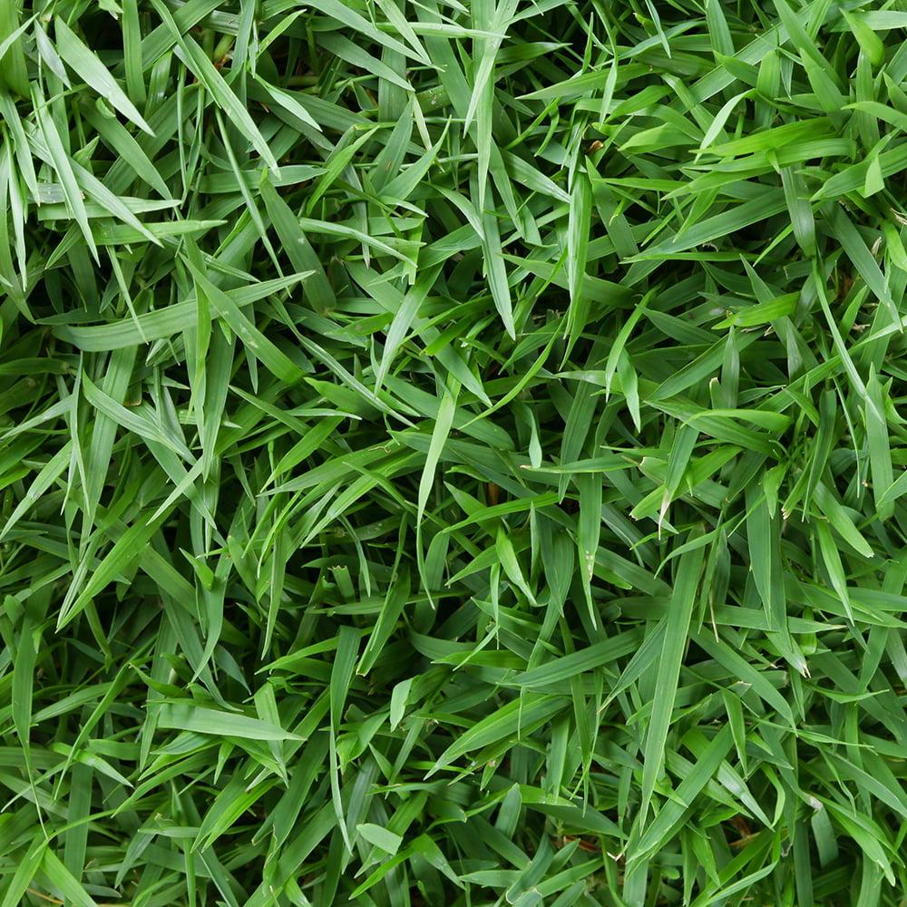 "Centipede 3"" Grass Plugs, 36 count"