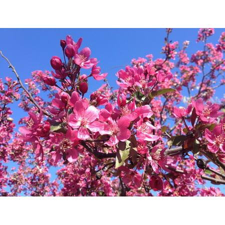 Laminated Poster Dogwood Spring Flowering Tree Pink Tree Bloom